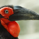 Importance of micro-chipping Southern Ground-Hornbills